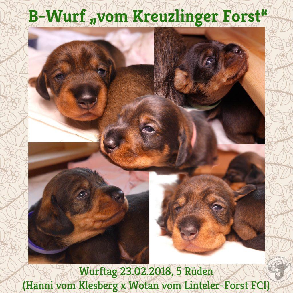 B-Wurf vom Kreuzlinger Forst Rauhaardackel Bayern